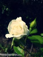 White by Photoguy09