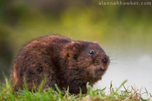 Water Vole by Alannah-Hawker