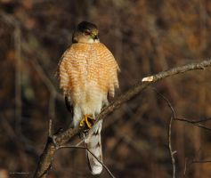 Young Coopers Hawk by natureguy