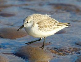 Sanderling by Somnp