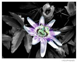 Passion Flower by BuddahForCakey