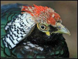 Lady Amherst's Pheasant Head by cycoze