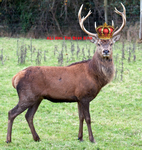 All hail the Stag King!!! by STAG-KING