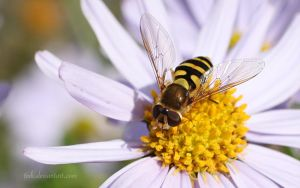 Hoverfly II by tjuh