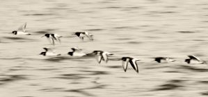 Oystercatchers heading home by AdrianSadlier