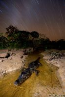Caiman Under Stars by willbl