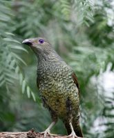 Satin Bower Bird 02 by aussiegal7
