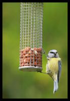 Blue tit by Bliss-imaging