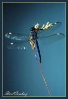 Blue Darner by Insect-Lovers-Club