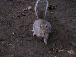A squirrel in London by bunnyripper