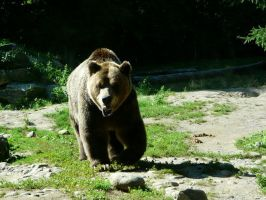 Grizzly Bear 20 by Unseelie-Stock