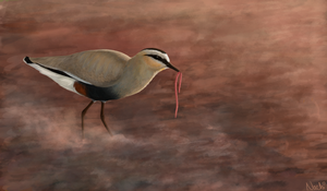 Sociable Lapwing by Nachiii