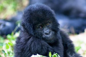 save the mountain gorilla by catman-suha