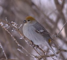 Pine Grosbeak by dove-51