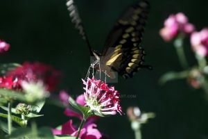 Swallowtail 2 by EyeInFocus