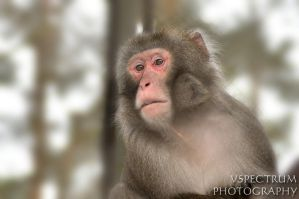 Japanese Macaque winter 2011 by cinnabarr