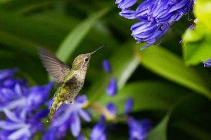 Hummingbird and blue flowers 4 by arthero12