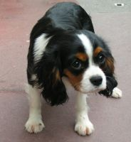 Cavalier King Charles by Altermondialiste