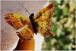 butterfly 2 by angesha