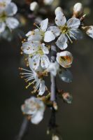 Blackthorn flowers by perost