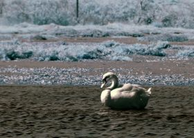 INFRARED SWAN by agelisgeo