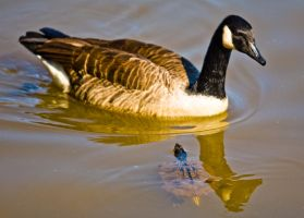 Canada Goose and Turtle by rdswords