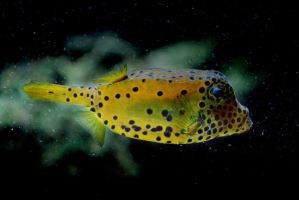Yellow Spotted Boxfish by TeKNoMaNiaCH