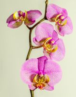Pink Orchid by NickField