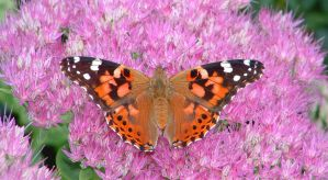 Painted Lady on Sedum by Kajm