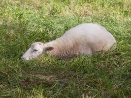 Sheep by Inilein