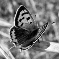 Little Red Butterfly 6 BW by Youcef07