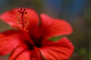 Red flower by Elena-Elendim