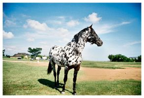 Appaloosa by vincent3fx