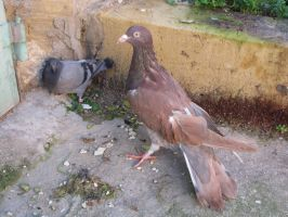 Italian giant Compared to a Rock dove by Faunamelitensis