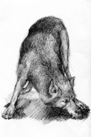 La Specola Sketches - Wolf by MonicaMcClain