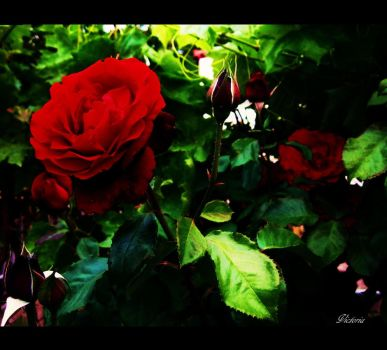 Red Roses by VictoriaElectra