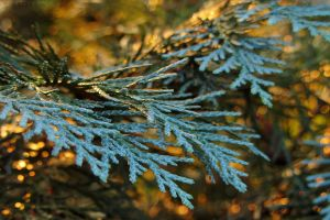 Thuja I by rosaarvensis