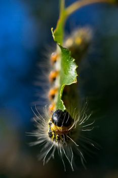 Yellownecked Caterpillar II by Spademm