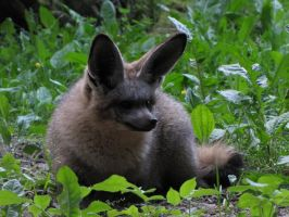 Bat-eared Fox by animalphotos