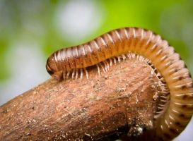 Millipede by iriscup