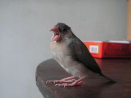 My pet Java sparrow Her-Chue by Scottvisnjic