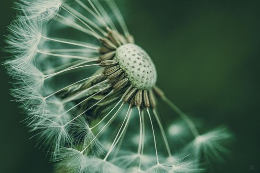 Taraxacum officinale by kakeboksen