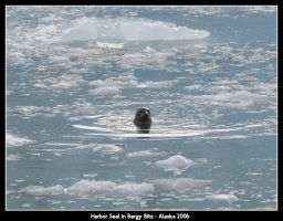 Harbor Seal in Bergy Bits by irrational1