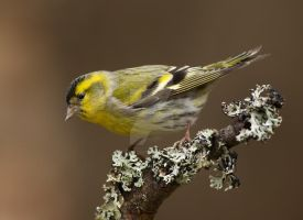 Handsome dude- Siskin by Jamie-MacArthur