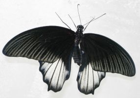 397 - butterfly by WolfC-Stock