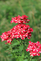 Red Flowers by ButterflyFish