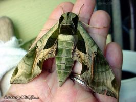 Pandorus Sphinx Moth 1 by seto2112