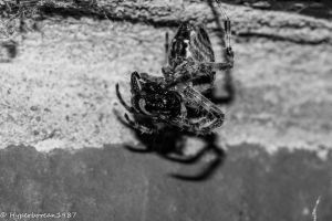orb weaver devouring a wasp by Hyperborean1987
