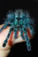 Avicularia versicolor III by LeoGg