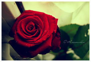 Red Rose is alone. by Lapapunk